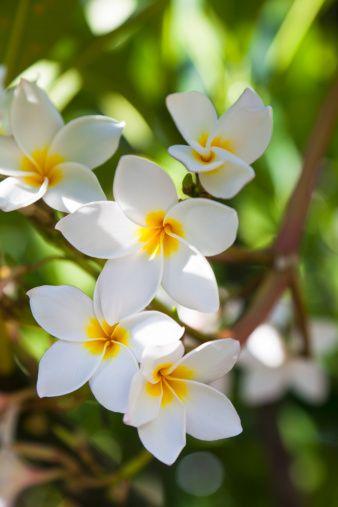 Plumeria Plumeria Obtusa ハワイ 花 夏の花 スマホ壁紙