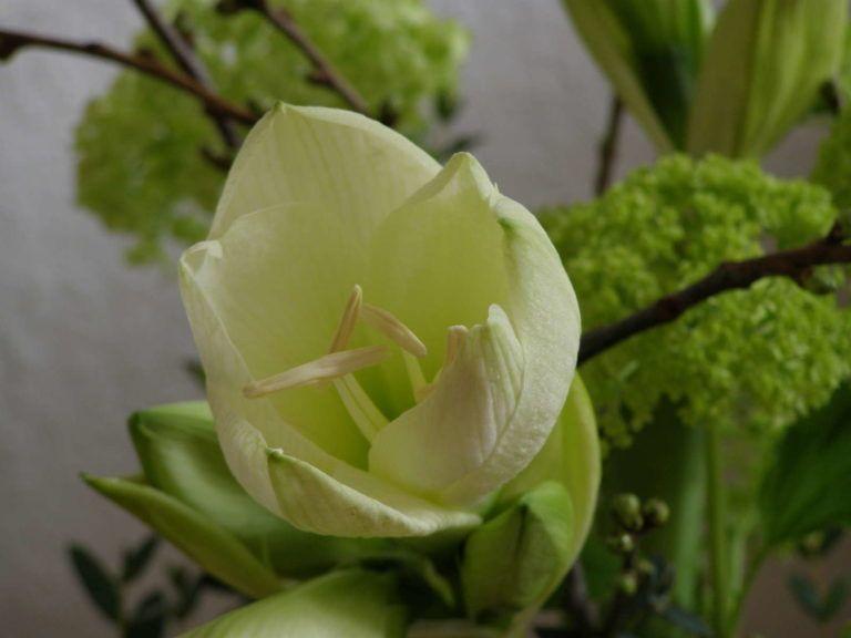 Ampelschirme Gunstig Online Kaufen Bestellen Amaryllis Pflanzen Zierpflanzen