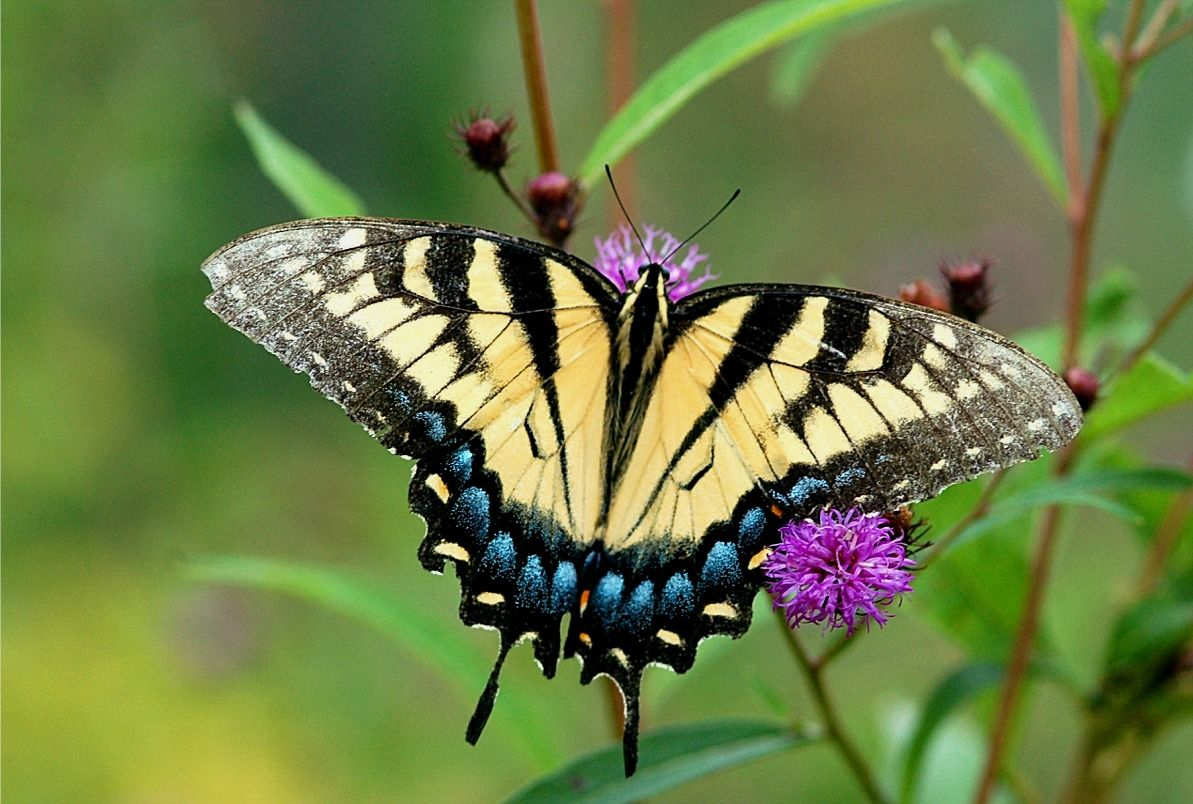 Yellow Swallow Mouth Butterfly True Swallowtails Are Brightly