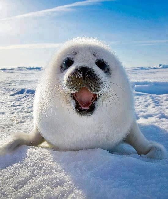 Smiling baby Harp Seal | Baby animals, Animals, Animals ...