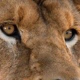 Africa's lions may number no more than 35,000. In Kenya a program called Lion Guardians points to a way to save the beleaguered cats.