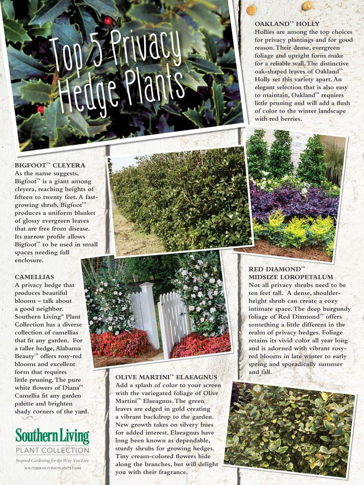 Top 5 Privacy Hedge Plants Privacy Landscaping Sustainable Landscaping Hedges