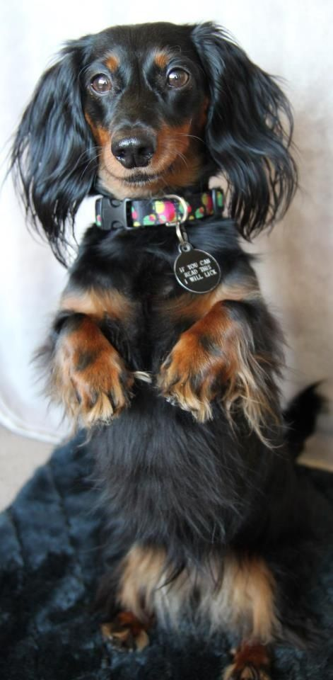Pin by Halley Ann on LongHaired Doxins