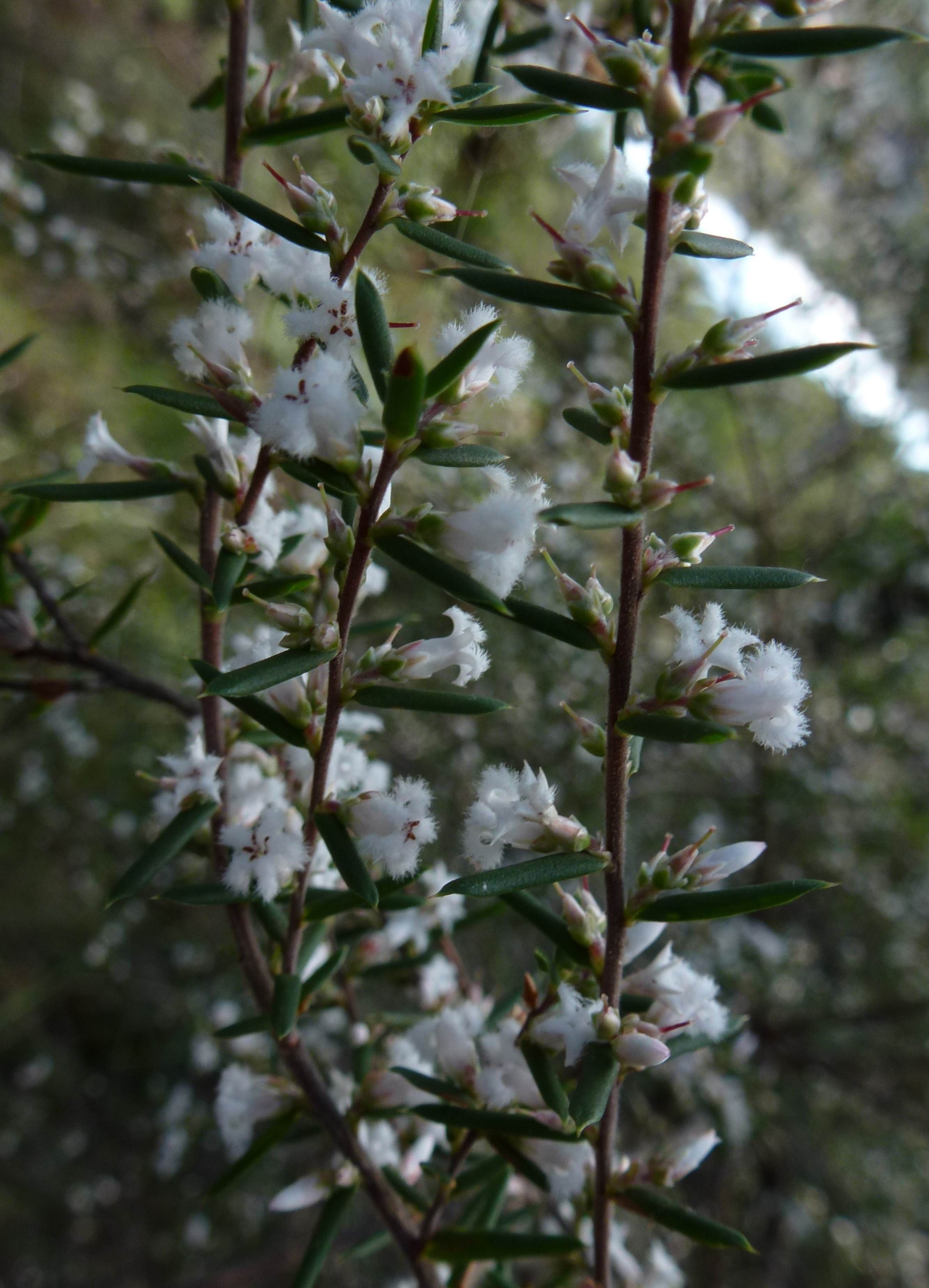 Leucopogon ericoides commonly known as the pink beard heath is a leucopogon ericoides commonly known as the pink beard heath is a common shrub dhlflorist Gallery