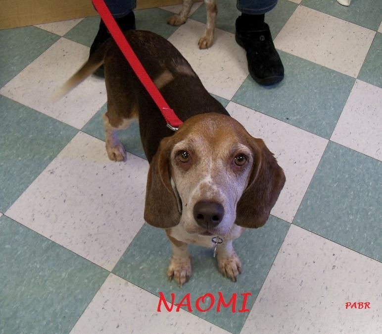 Adopt Naomi On Rescue Dogs Adoptable Beagle Beagle Rescue
