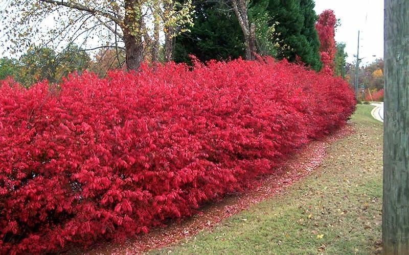 Burning Bush Plants Shrubs Sale Fast Growing Trees It S