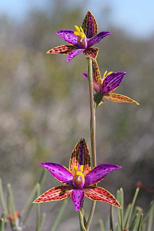 Queen of Sheba » The Orchids of Western Australia