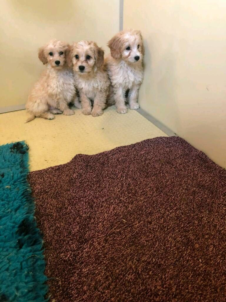 Https I Ebayimg Com 00 S Mtaynfg3njg Z Oegaaoswaova6gch 86 Jpg Cockapoo Puppies Dogs Dogs For Sale