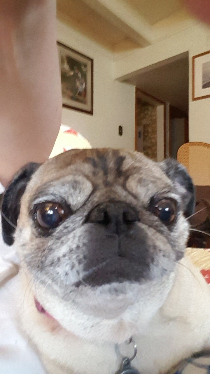 Hello My Human Pug Love Pug Dog Cute Dogs