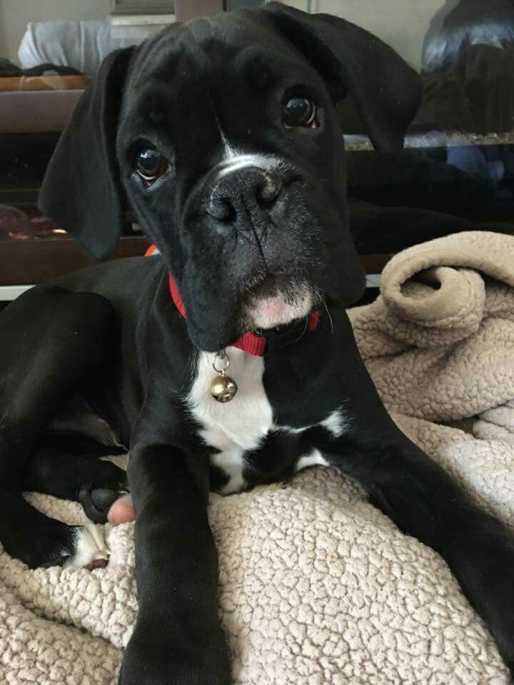Boxer Energetic And Funny Boxer Dogs Boxer Puppies Cute Animals