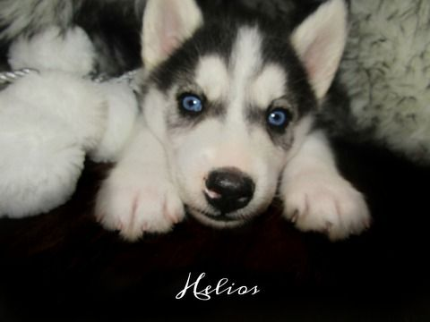 Siberian Husky Puppy For Sale In Glen Rose Tx Adn 58660 On