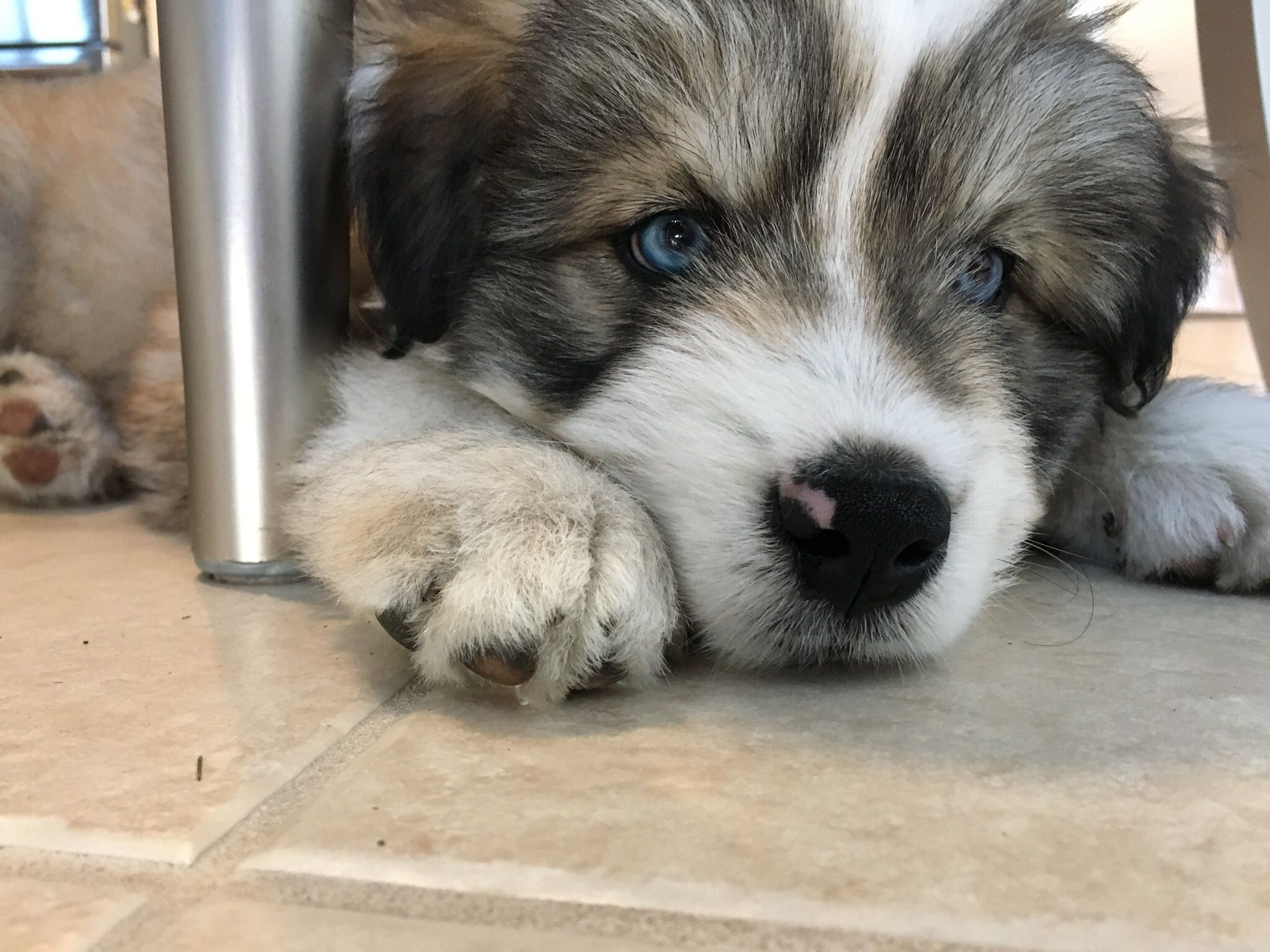 Our 8 5 Week Old Goberian Goberian Puppy