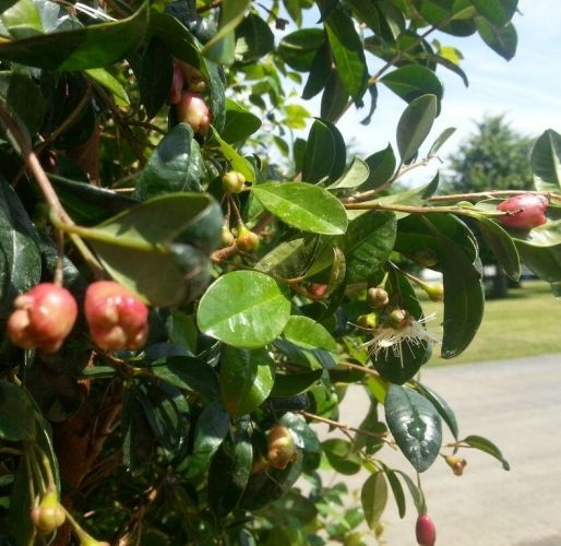 Native Edible Plants Australia: Exotic Fruits That I Have And