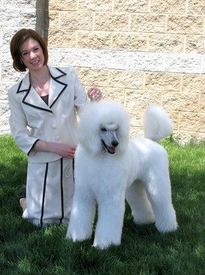 Desert Reef Poodles Showing Standard Poodle In A Puppy Clip For