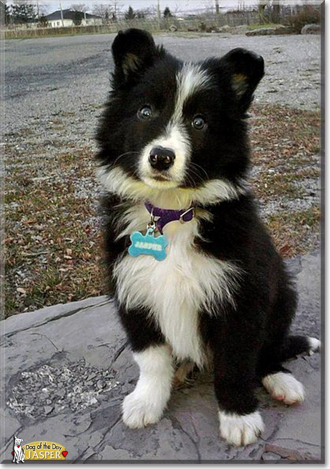 Jasper The Dog Of The Day Collie Dog Dog Breeds Border Collie