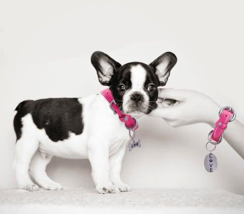 Cute Puppy Modeling A Hot Pink Designer Dog Collar For Andrea Levine