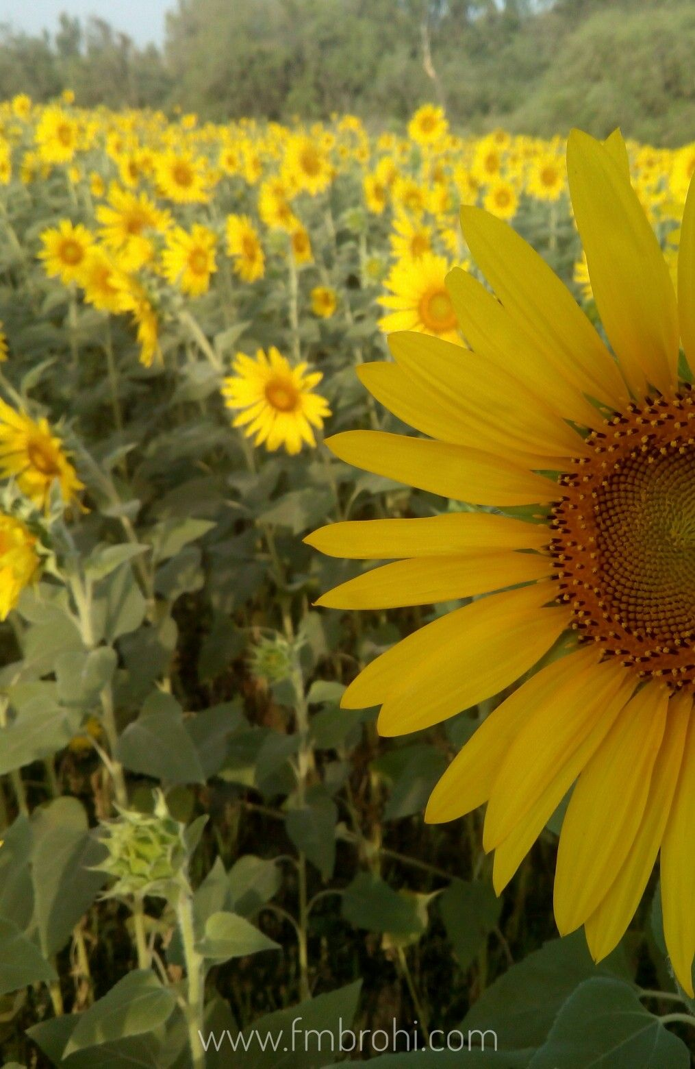 Sunflower field in a village at Shikarpur, Sindh, Pakistan ...
