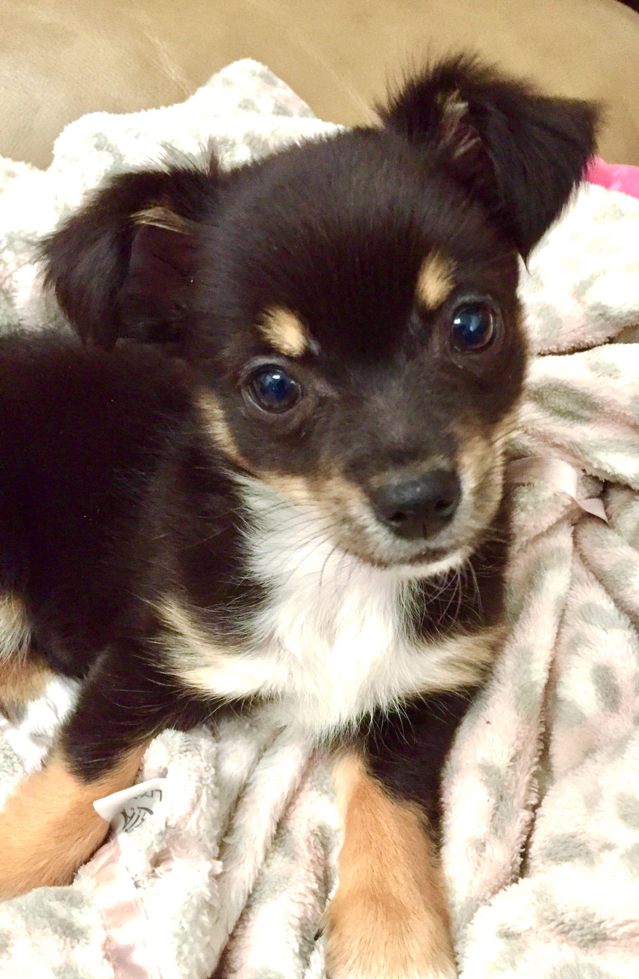 Cutie Pie Tri Color Long Hair Chihuahua Baby Chihuahua Dog