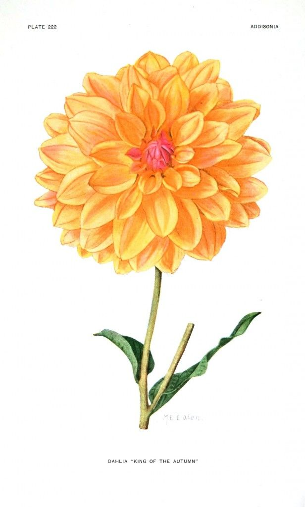 Dahlia Botanical Illustration | www.pixshark.com - Images ...