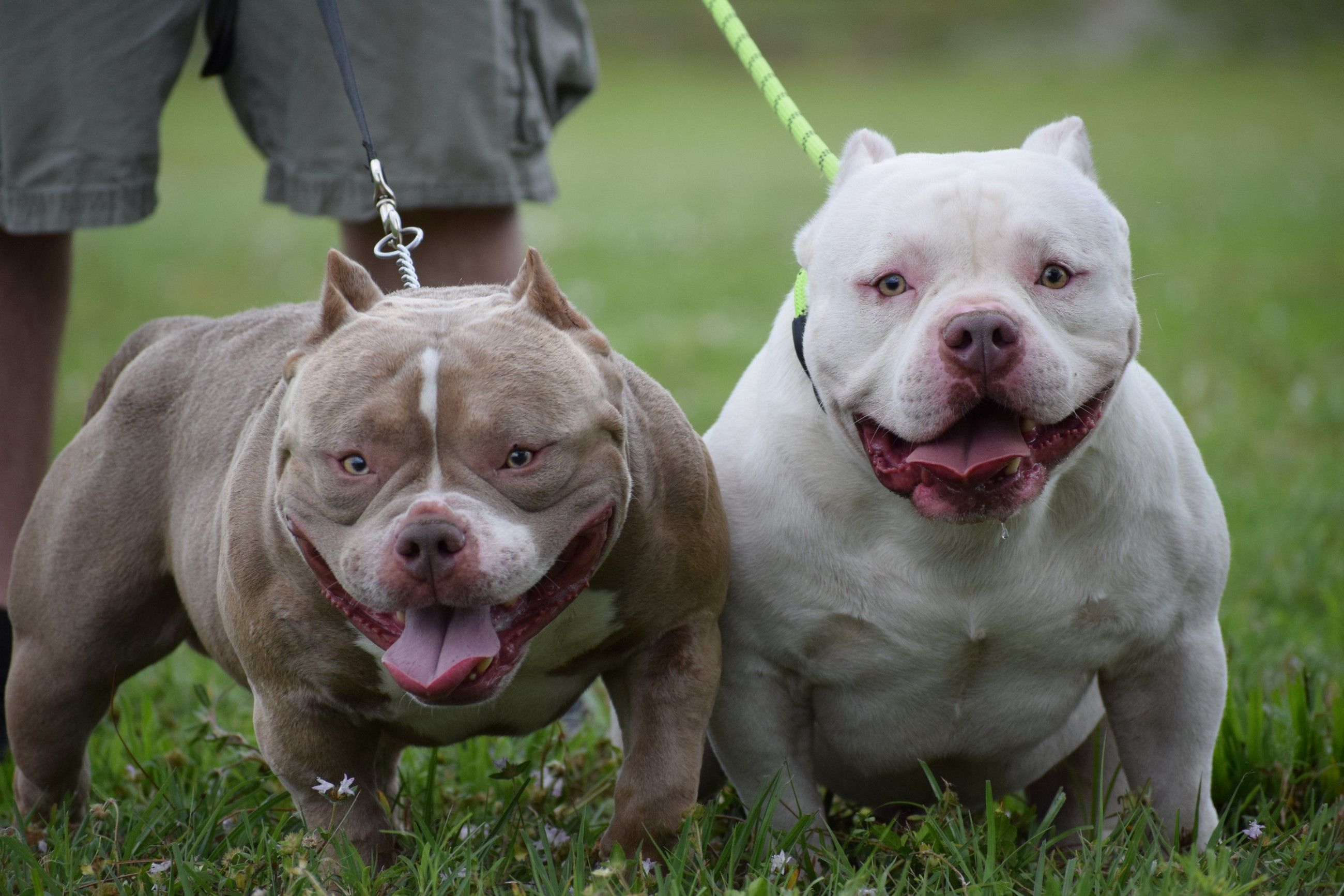 The Extreme Pocket Bully Pocket Bully American Bully Kennels Bullying