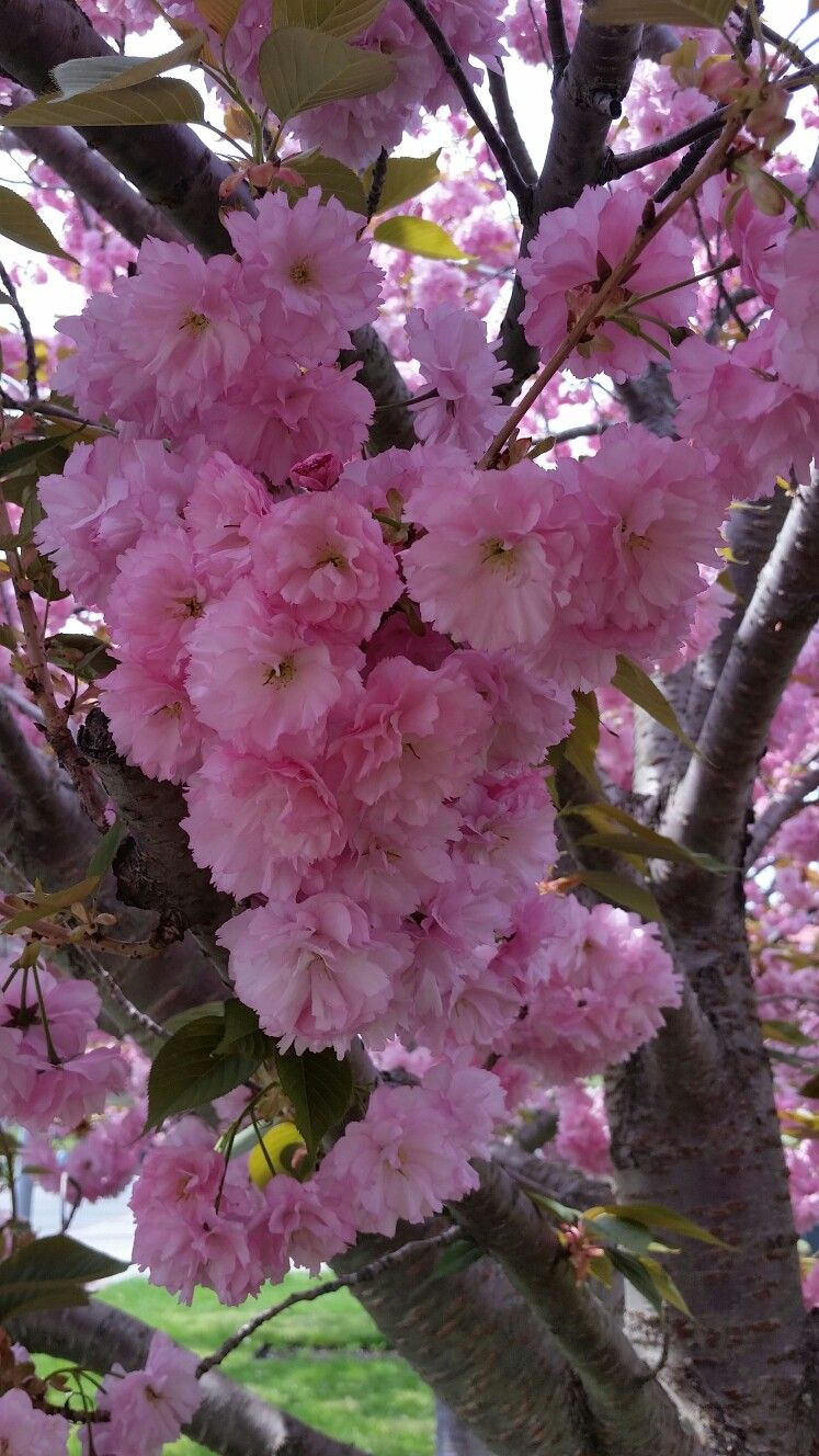 Cherry Blossom Love Beautiful Flowers Spring Flowers Amazing Flowers