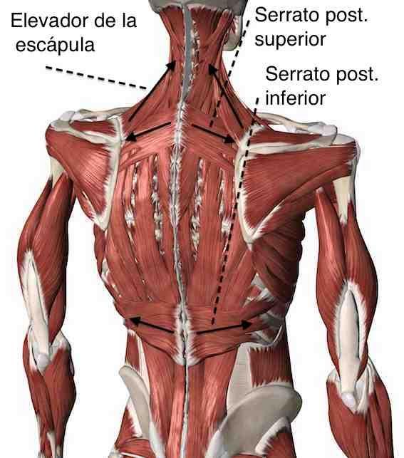 Pin de Jacques D\'Silva en drawing | Pinterest | Anatomía, Músculos y ...