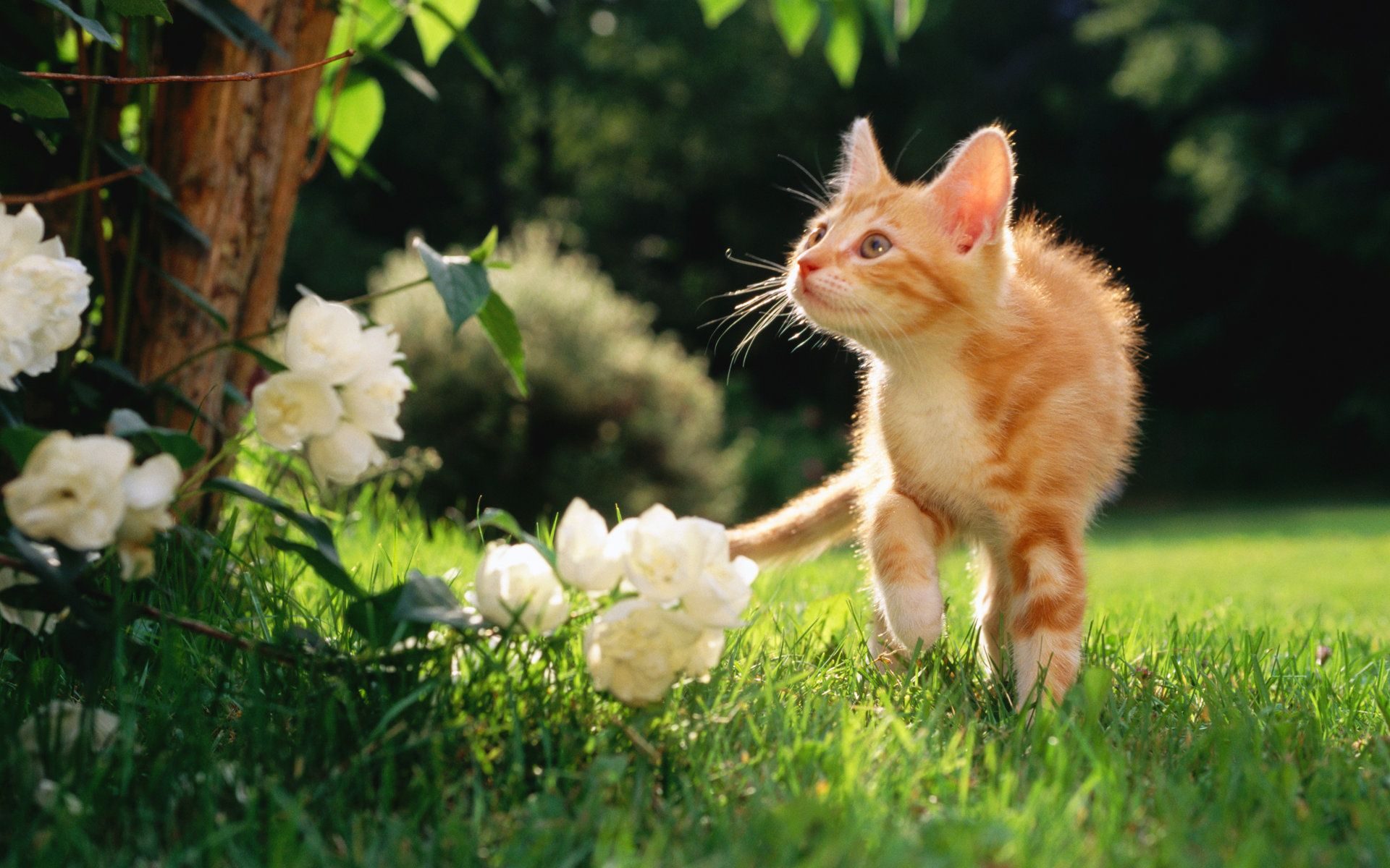 HD Sweet Kitty Adorable Fluffy Baby Kittens Widescreen