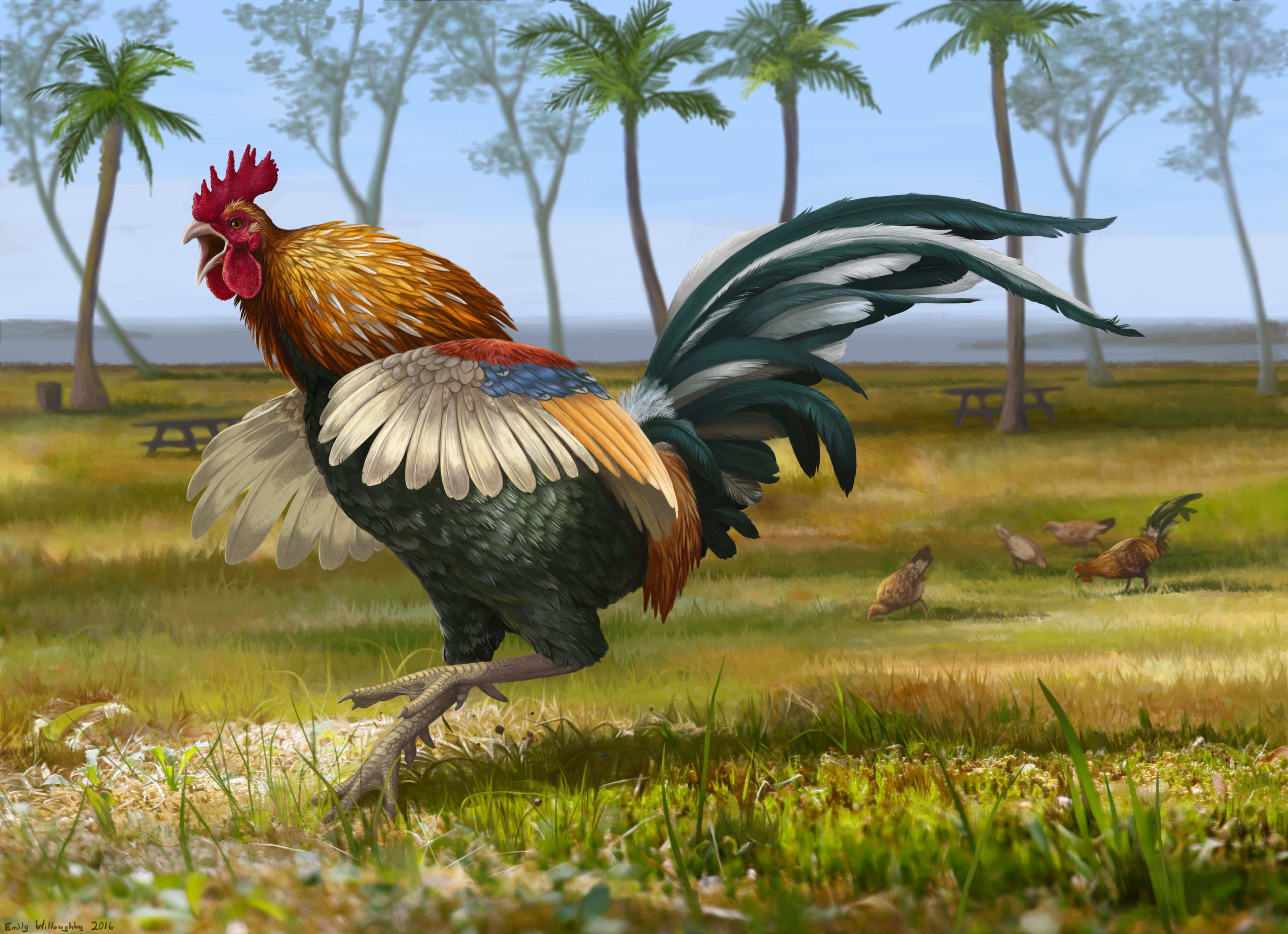 Feral Kauai Rooster Emily Willoughby Art (With images