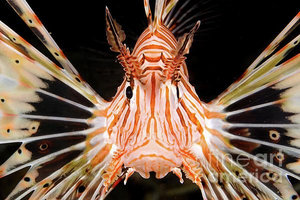 Radial Lionfish Pterois Radiata Greeting Card For Sale By Hagai Nativ Lion Fish Radiata Lion Sculpture