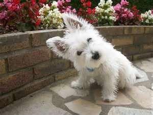 Wallpapers Westie This Doggy Regular Size Widescreen 1920x1200 202184 Westie Westie Puppies