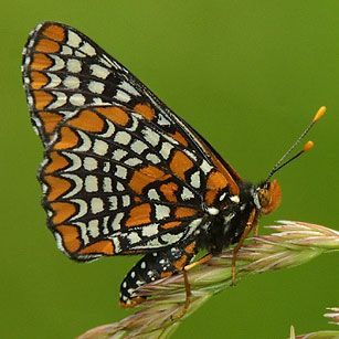 Baltimore Checkerspot butterfly (photo by Tom Whelan)