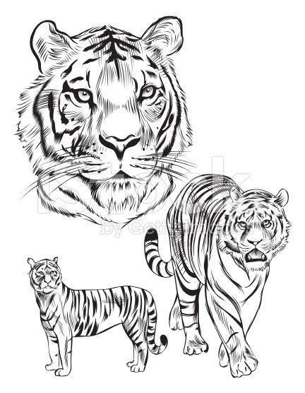 Line Drawing Tiger : Awesome tiger line drawing images art tutorials etc