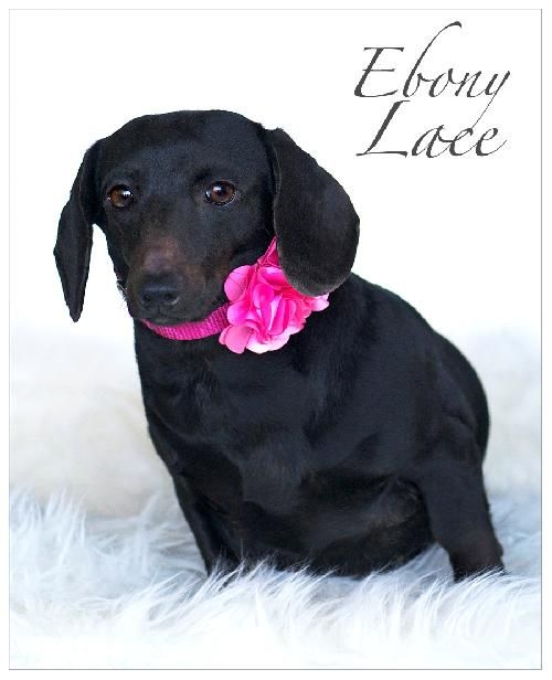 Ebony Lace Is Available For Adoption At Www Ddrtx Org Diamond Dachshund Rescue Of Texas Dachshund Rescue Foster Dog Dachshund