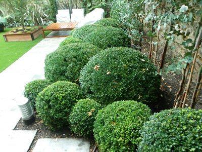 Pittosporum boule recherche google id es pour la for Recherche entretien jardin