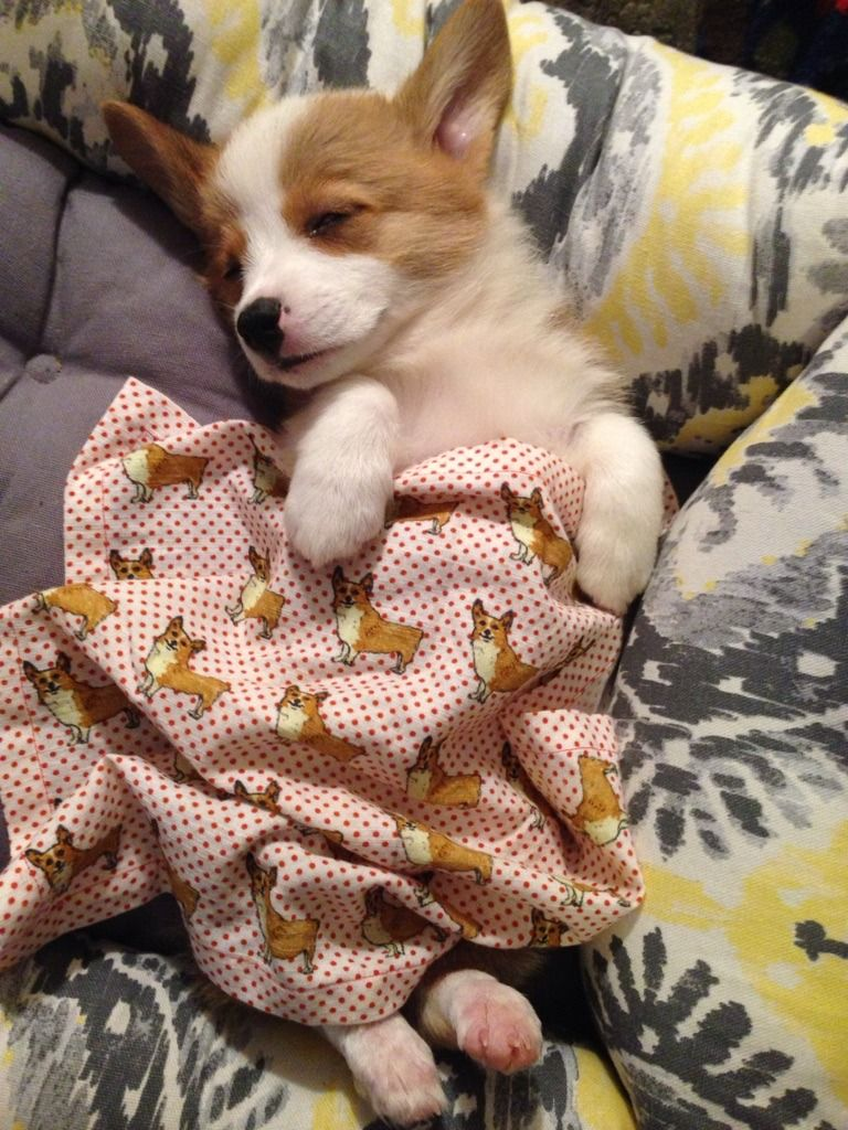 Johnny S Blog Corgi Sleeping Cute Animal Pictures Cute Animals