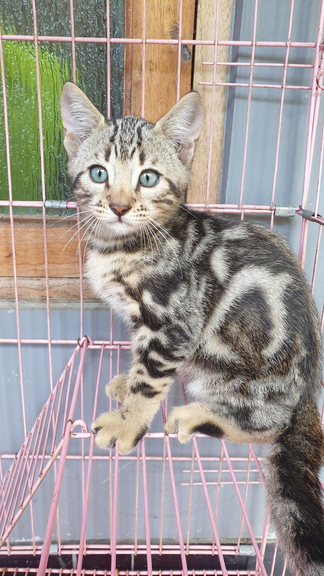 Kitten Bengal Marble Kucing Bengal Kucing Fotografi Model