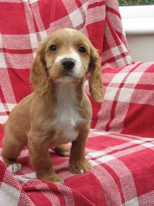 Pin By Cindy M On Cocker Spaniels Cocker Spaniel Puppies Working Cocker Spaniel Puppies