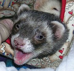 Why Are Ferrets Illegal In Some Places Ferret Ferret Cage Ferret Toys