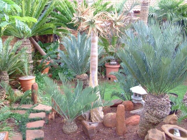 Cycad garden cycads of south africa pinterest for Cycas landscape design