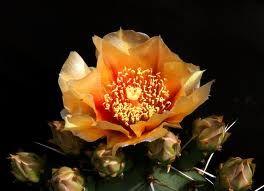Opuntia streptacantha
