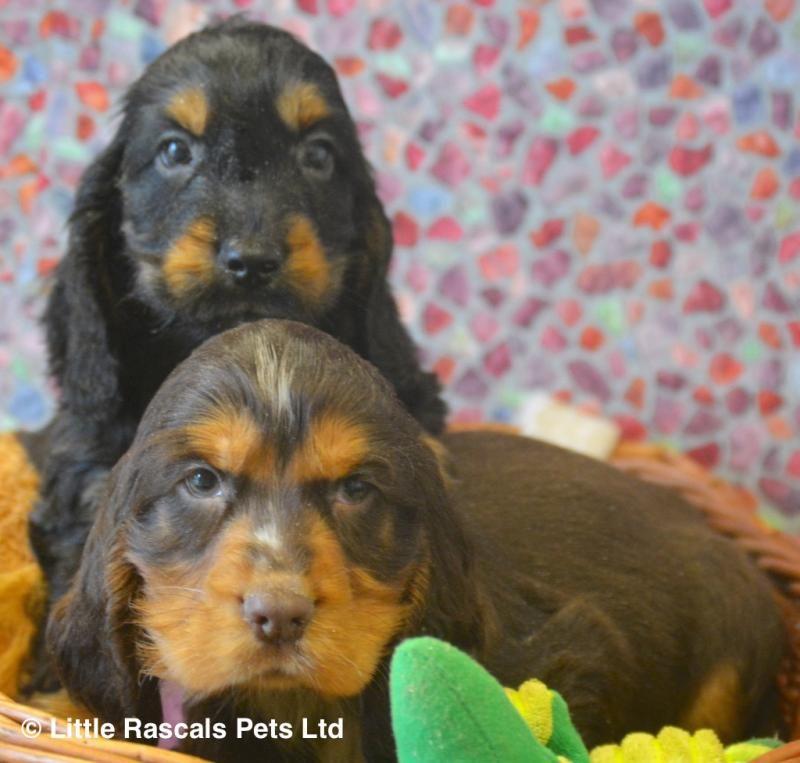 Beautiful cocker spaniel babies pedigree puppies for