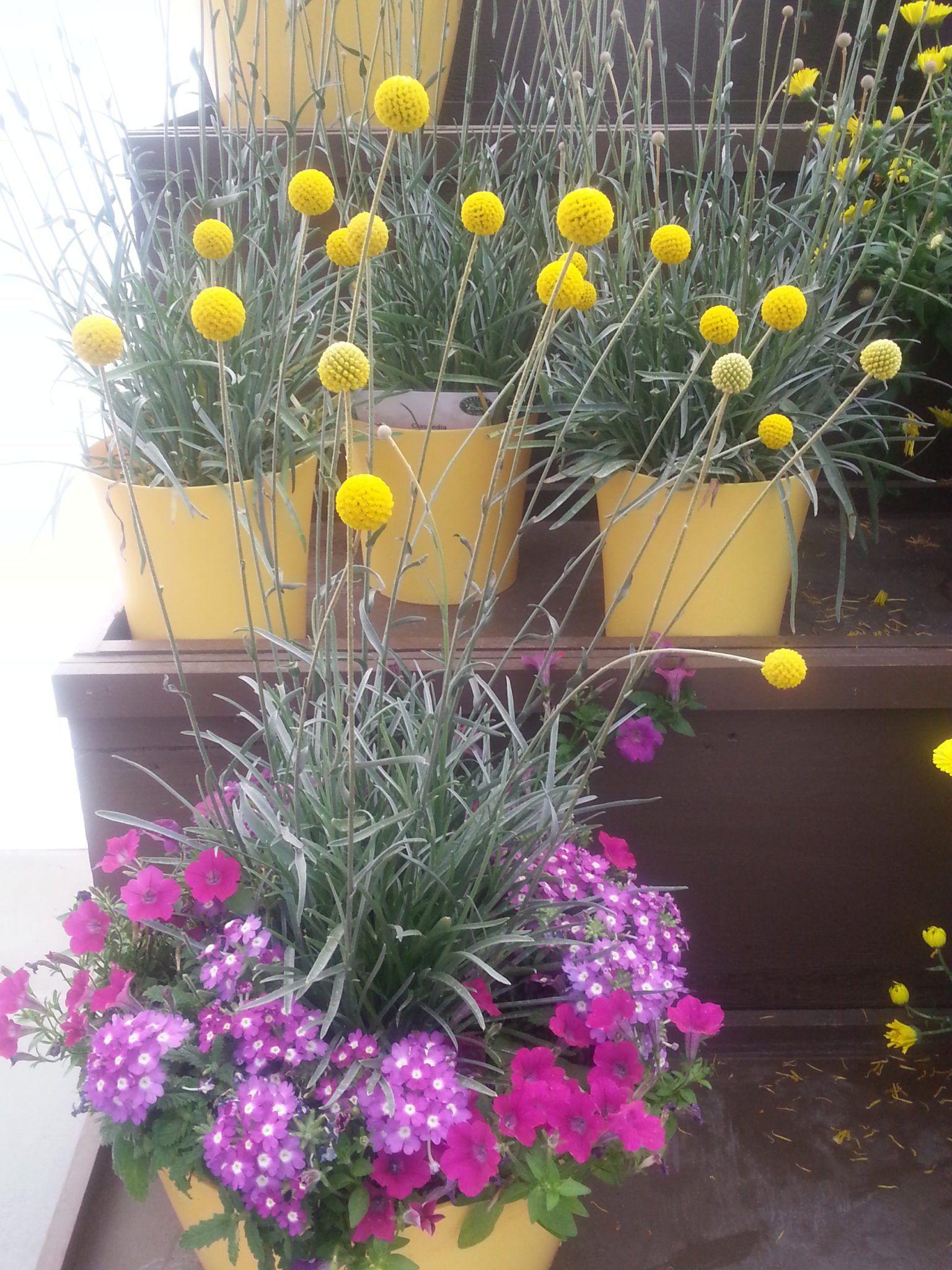 Craspedia Golf Beauty Gardening In The Shade Beauty Gardens Flower Pots Craspedia