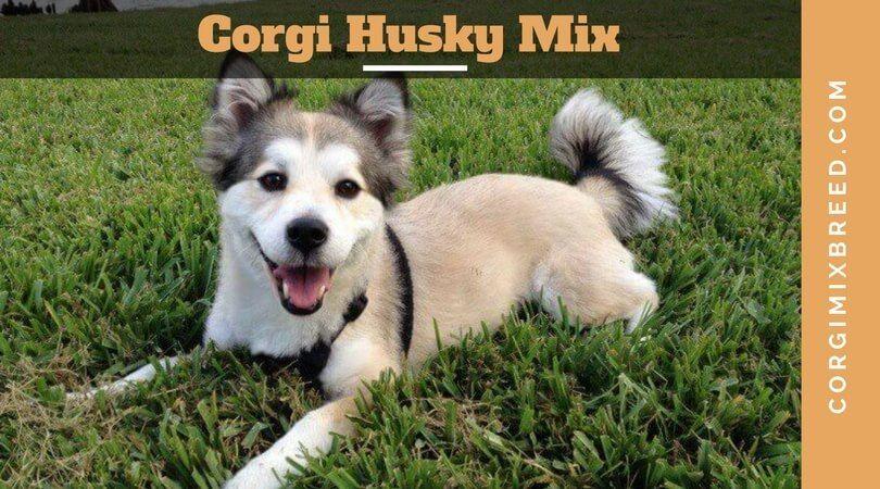 Corgi Husky Mix All About Horgi Or Siborgi Dogs One Of The Cutest Dog Breeds Is The Corgi Husky Mix Which Is Com Corgi Mix Breeds Corgi Husky Corgi Husky Mix