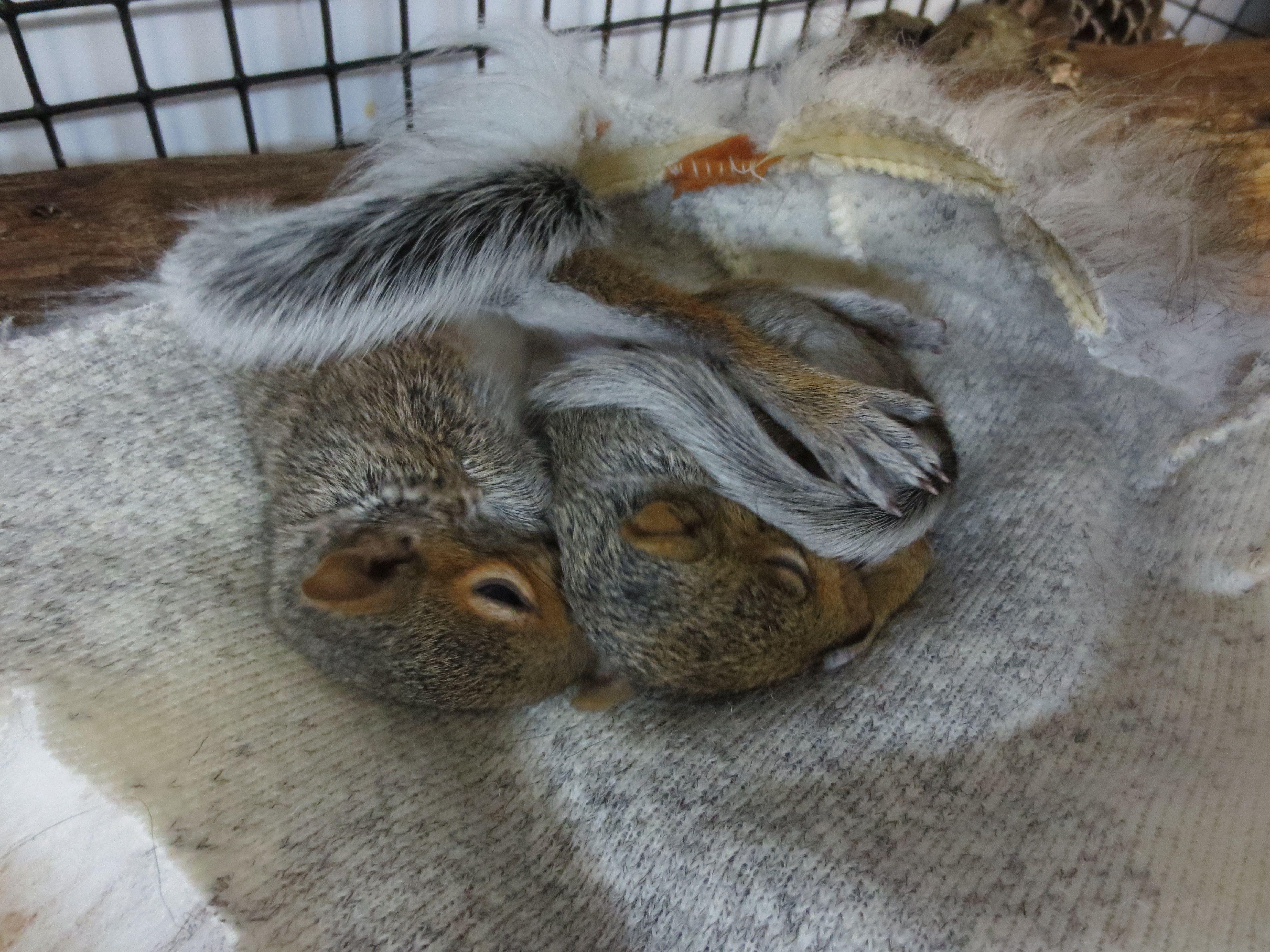 Baby squirrels barry lola wildlife rehabilitation pinterest baby squirrels barry lola geenschuldenfo Choice Image