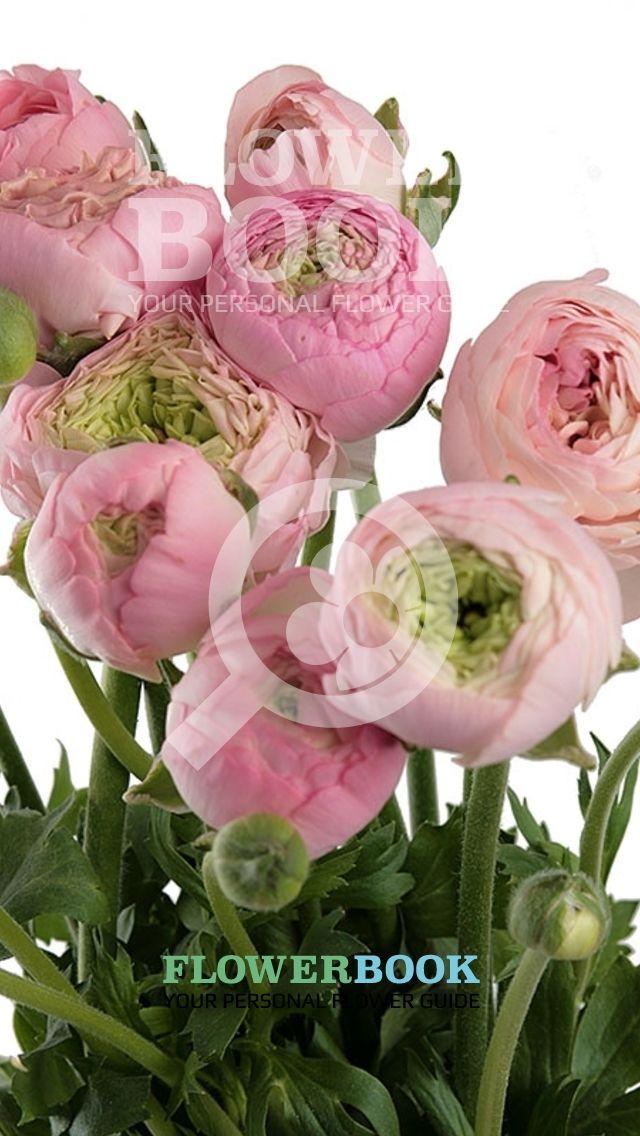 Ranunculus Elegance Pastel Pink