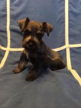 Schnauzer Miniature Puppy For Sale In Greenville Sc Adn 35392 On Puppyfinder Com Gender Male Age 7 Weeks Old Miniature Puppies Puppies For Sale Puppies