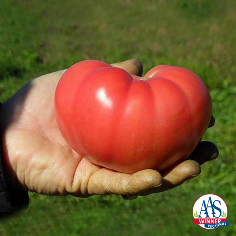 Tomato Mountain Rouge 2019 Aas Edible Vegetable Winner A