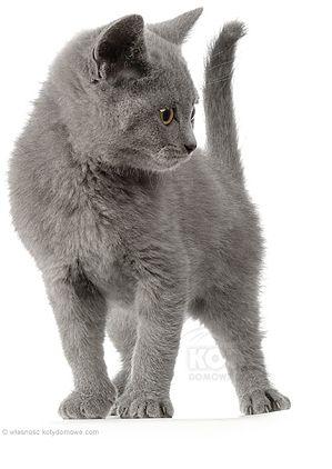 Kot Kartuski Legenda Glosi Ze Przodkami Kotow Kartuskich Chartreux Sa Dzikie Koty Gorskie Z Rejonu Dzisiejszej Syrii Cat Feline Cats Feline