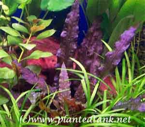 Wet Thumb Forum Beckettii Cryptocoryne Beckettii General Aquarium Plants Discussions Plants Freshwater Plants Planted Aquarium