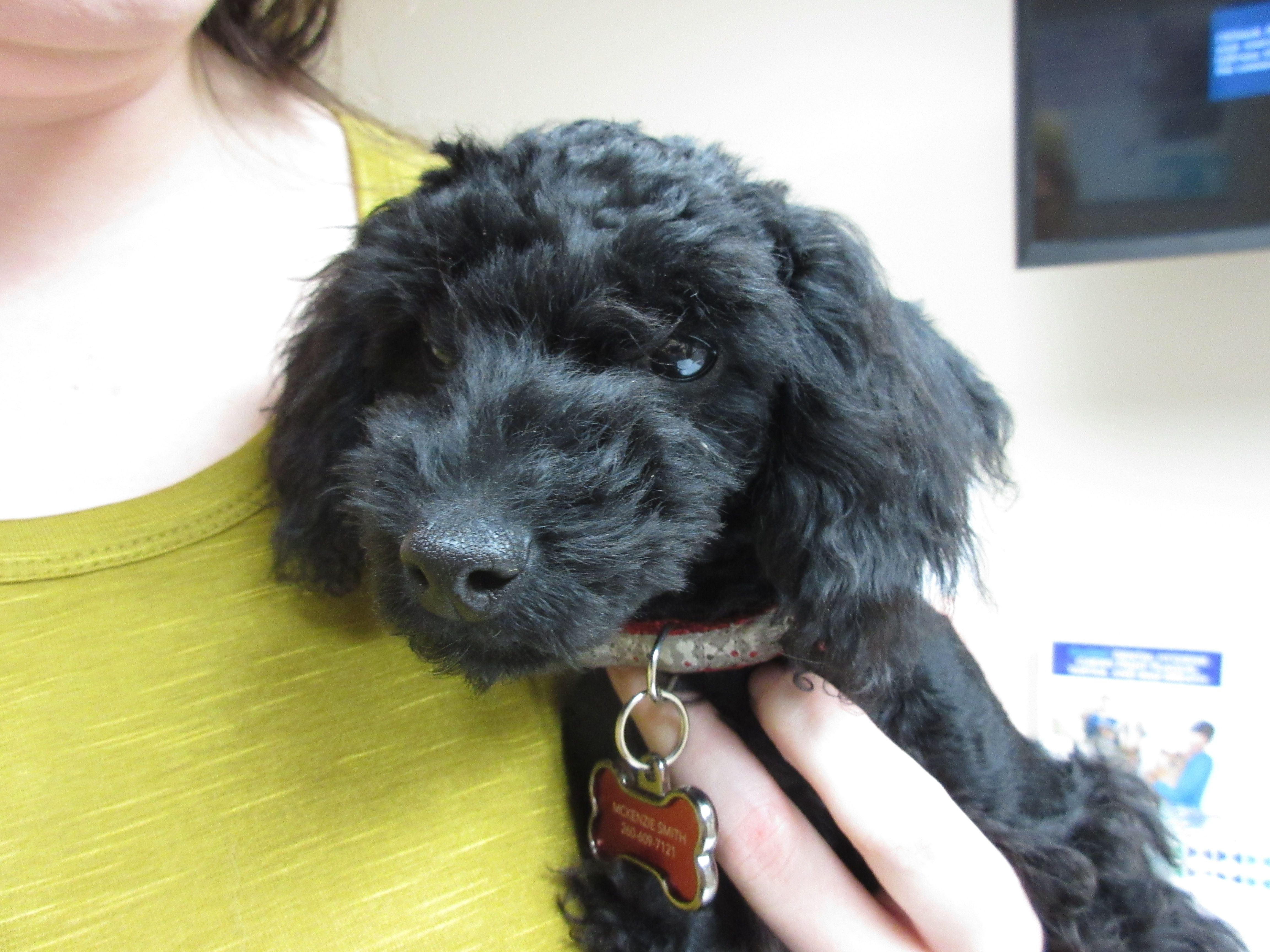 Finn Is A 4 Month Old Miniature Poodle Miniature Poodle Cute